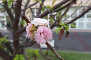 季節外れの桜20190929