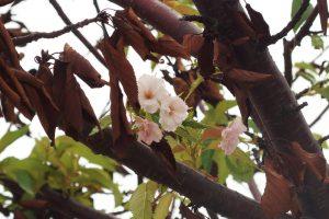 季節外れの桜20190929-2